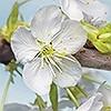 Tapeten: Blossom