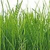 Tapeten: Gras Bordüre