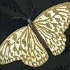 Tapeten: Farfalla, col. 04