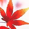 Tapeten: Maple Leaves