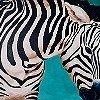 Tapeten: Zebra, groß