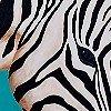 Tapeten: Zebra, klein