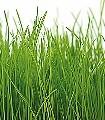 Gras-Bordüre-Gras-Moderne-Muster-FotoTapeten-Grün-Weiß