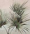 Palm,-col.-64-Bäume-Blätter-Florale-Muster-FotoTapeten-Grün-Creme