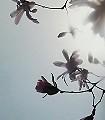 Sternmagnolie-Blumen-Äste-Florale-Muster-FotoTapeten-Rosa-Anthrazit-Hellblau