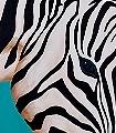 Zebra,-klein-Tiere-Kunst-Großmotiv-FotoTapeten