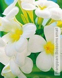 Tapete: Frangipani Blossoms small