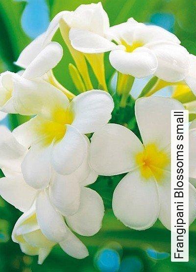 Frangipani-Blossoms-small-Blumen-FotoTapeten-Grün-Weiß